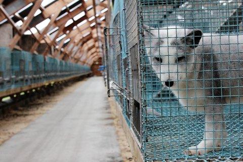 Snart forbudt: Pelsdyroppdrett skal avvikles i Norge på grunn av dyrevelferdshensyn.