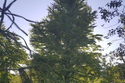 Fagkveld: om formklipp og beskjæring av busker og trær, er det hos Hageland i Brumunddal tirsdag klokka 18.