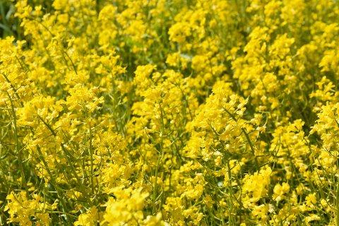 VINTERKARSE: Den gule blomsten er svartelistet i Norge.
