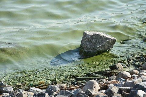 IKKE GIFTIGE: De blågrønne algene i Mjøsa er ikke giftige, men kan fremkalle allergiske reaksjoner.