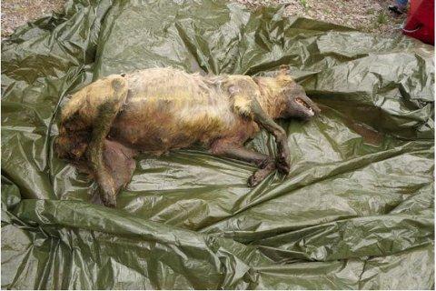 FORGIFTET: En ulvetispe som ble funnet død i Åsnes-Finnskog i mai i år viste seg å ha spor av etylenglykol i kroppen. Utlagte kjøttbiter som ble funnet i samme område i desember i fjor, inneholdt det samme stoffet, som er en vanlig bestanddel i for eksempel frostvæske. Politiet bekrefter 9. januar at det er dødsårsaken. (Foto: Politiet / NTB scanpix)