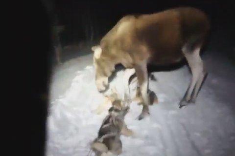 ANGRIPER: Her sparker elgen til hundene. Se video lenger ned i artikkelen.