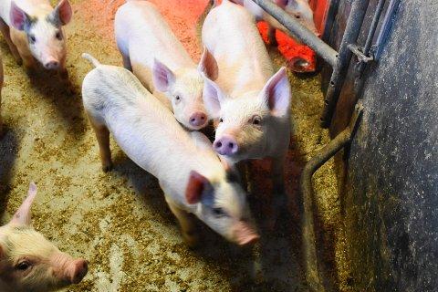 Dyrehold: Det har vært stor oppmerksomhet om dyrehold den siste uka. Ingen grisebønder i Ringsaker er blant de anmeldte i saken. Dette bildet av gris er tatt i en annen sammenheng.