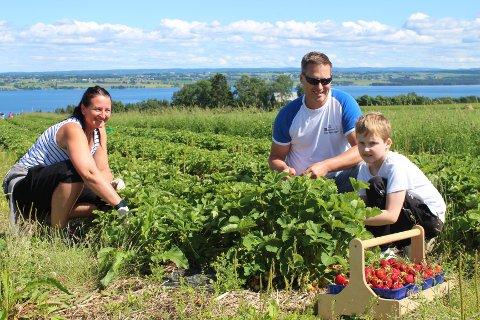 Elin Engeset, Frank Syversen og Sigurd Østli Syversen fra Veldre hadde tatt turen til Vien gard på Helgøya onsdag ettermiddag for å plukke jordbær. - Det er veldig artig å plukke de bæra man skal ha selv, forteller de.