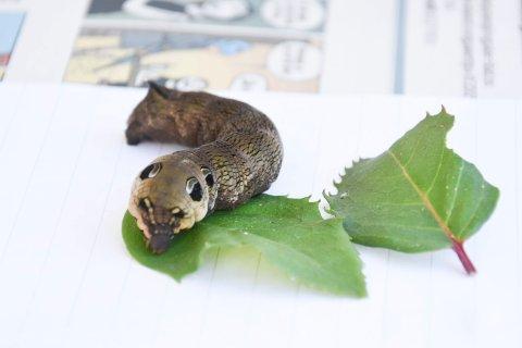 LARVE: To slike larver var mandag på besøk hos RB. Her er en av dem avbildet.