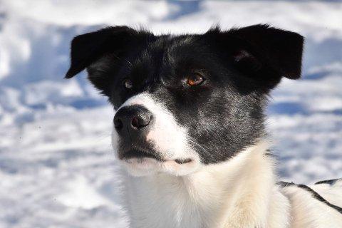 TØFFING: Hunden Sjarm fra Veldre.