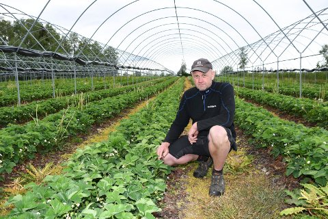 Bekymret: Jordbærprodusenter over hele landet frykter en trasig sesong. Rune Hagelund er en av mange som mangler arbeidskraft.