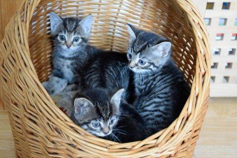 Dyrebeskyttelsen trenger flere omsorgsfulle hjem til kattungene som er funnet ute.