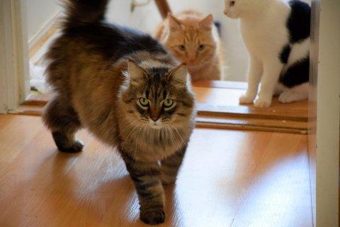 Også flere voksne katter trenger nye hjem.