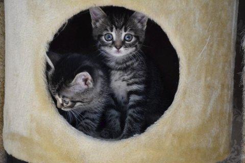 TRENGER HJEM: Dyrebeskyttelsen har både kattunger og voksne katter som trenger nytt hjem.