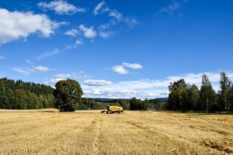 Det strålende septemberværet er gunstig også for kornbøndene. I går ble det målt 24,3 grader i Hønefoss.