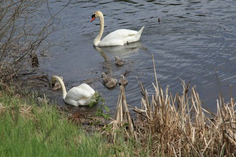 Svaneparet i Hermannstjern har fått seks unger.