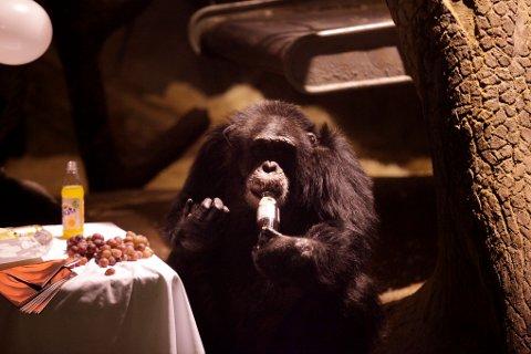 Her feirer sjimpansen Julius 30 år. Han er heldigvis på bedringens vei etter å ha blitt forgiftet.