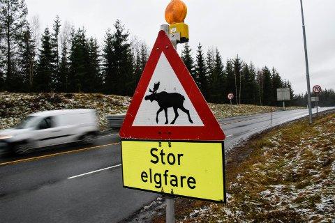 ELGFARE: Det er ekstra stor elgfare mellom Styggdal og Snyta for tiden.