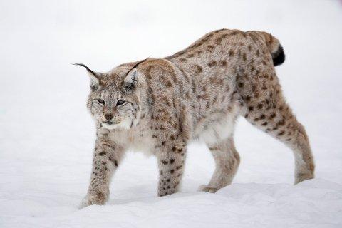 Det er no lov til å jakte på gaupe i eit avgrensa jaktområde i Aust-Agder og Telemark. Foto: Heiko Junge / NTB scanpix / NPK