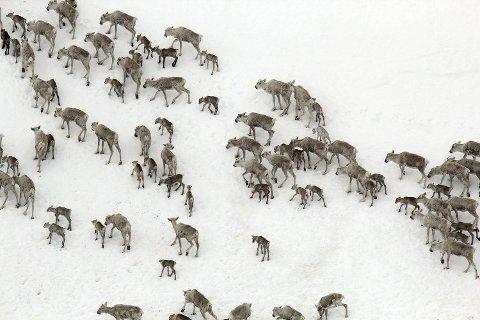 ISlagt beite: - Dyra sliter med å komme ned til lav mange steder. Øst på vidda - hvor  dyra står nå - er  forholdene bedre. Jeg vil ikke rope ulv, ulv, men det er best om dyra kan få være der de er nå, sier Anders Mossing, fagkonsulent ved Villreinsenter sør.
