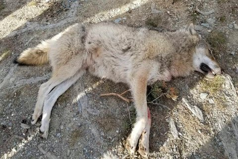 Kvam 20200105.  En ulv ble onsdag ettermiddag felt i Kvamsfjellet i Nord-Fron kommune i Gudbrandsdalen. Foto: Statens naturoppsyn / NTB scanpix