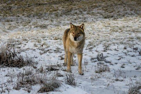 Savnet: Denne ulven vandret fra Trysil til Østmarka for å føre sine gener videre. Mens tispa og hannens to avkom fortsatt finnes i marka, har hannen vært savnet lenge. Dette bildet ble tatt da hannulven kom til Rælingen 9. januar i år. Foto: Vidar Tveterhagen