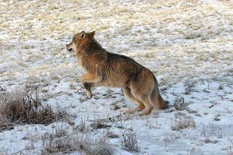 Regjeringen vil gjøre det lettere å skyte ulv. Her er ulven avbildet i Rælingen tidligere i år.
