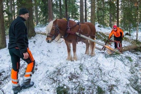 Tømring: Fredrik Hansen og Eldar Hønsi med hesten Merra i arbeid.