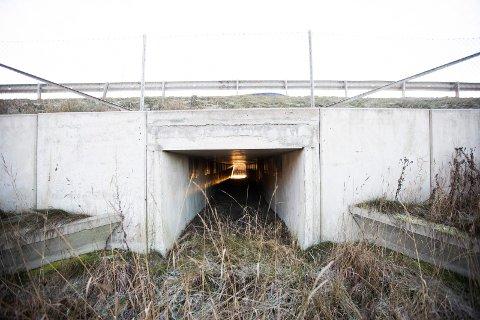 PERFEKTE FORHOLD: Årsaken til at kulvertene er såpass store er på grunn av lysforholdene. Hadde det vært for mørkt ville spissnutefrosken snudd inne i tunnelen.