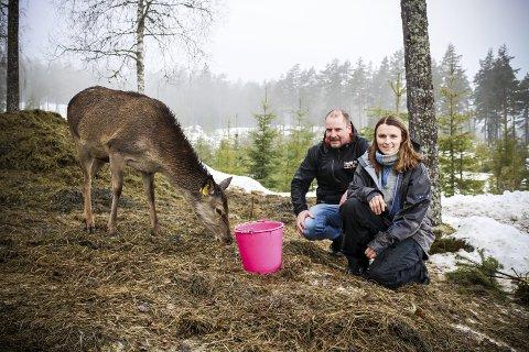 Foreløpig teller flokken i Hjorteparken 12 dyr, men flere er drektige, så Torleif og Anette Mørk går en travel tid i møte. ALLE FOTO: ELISABETH JOHNSEN