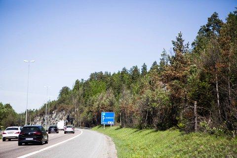 BRUNT: Trærne langs E6 bærer tydelig preg av en hard vinter og en tørr sommer.
