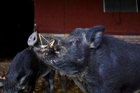 ØKER: En økning i villsvinbestanden kan ha store konsekvenser for både dyr, mennesker og miljø.  (NTB scanpix)