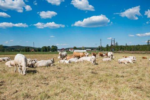 TØRKE: Mange kyr mangler fõr som følge av den tørre sommeren på Østlandet. Ståle Hansen driver med ammeku på Aurskog Høland (bildet), og sliter nå med dårlige fôravlinger som følge av tørken. Nå vurderer han å sende dyr til slakt på grunn av mangelen.