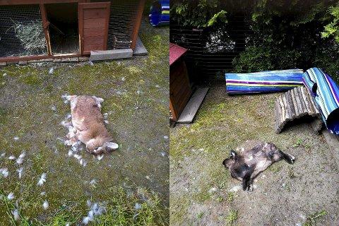 DREPT: Kaninene Harriet og Chewy ble funnet døde i hagen på Vallerud i Lørenskog. Nå ber politiet om tips.
