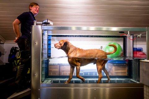 PÅ TREDEMØLLE: Hunden Chumlee får trening på vanntredemølla i Standals spaavdeling. Denne tredemølla gjør at hundene kan trene med kontrollert belastning. Kennelleder Veronica Bruer t.v.