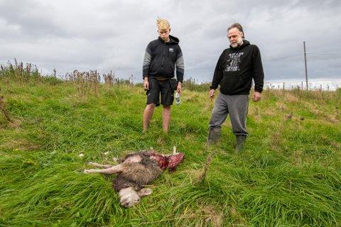 LAM TATT: Kopplammet ble tatt av ulveflokken fredag morgen. Da hadde ulvene tidligere samme natt forsøkt seg på kyrne på gården. Truls Fredriksen (t.h) driver gården, mens det var gårdsgutten Espen Storhesen Emer som kant kadaveret.