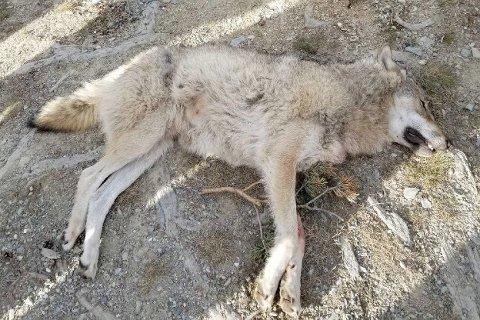Naturvernforbundet klager inn rovviltnemndene i Hedmark (region 5) og Oslo, Akershus og Østfold (region 4) etter at de har gitt fellingstillatelser på 32 ulver i fem revirer innenfor ulvesonen. Forbundet mener det verken finnes faglig eller juridisk grunnlag for vedtakene.