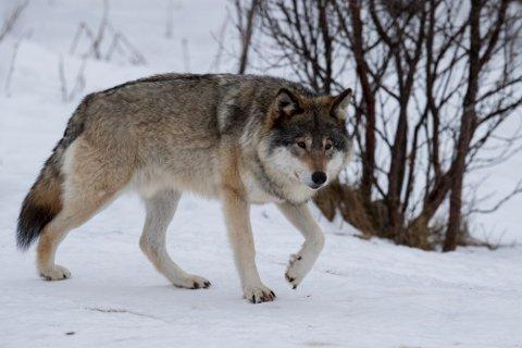 ULV: Denne voksne hannulv er fotografert på Langedrag.