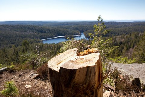 BARE STUBBEN STÅR IGJEN: Den krokete tørrfurua på Tonekollen var blitt et landemerke i Østmarka før den i vinter falt for øksa til turgåerne som ikke kjenner til reglene som gjelder i naturreservat, der det heller ikke er lov å hugge døde trær.