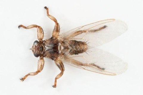 EKKEL: Dette vemmelige dyret er ute etter blod. Den har spredd seg voldsomt over Sør Norge de siste årene.