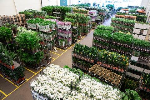 FERSKVARE:  Mester Grønn har permittert over 530 ansatte de siste dagene. På hovedkontoret står store rader fulle av ferske blomster som enten må elges, eller kastes.