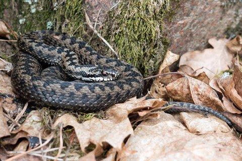 VÅKNET: Huggormen er den eneste giftige slangen i Norge.