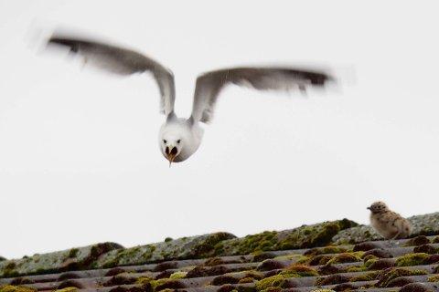 Måkene skyr ingen når den passer på sine avkom, sier Fuglehjelpen i Drammen.