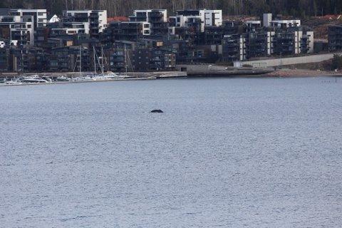 FANGET PÅ KAMERA: Dette bildet av det som skal være en hval ble tatt utenfor Nordre Jarlsberg Brygge torsdag.