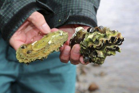 UØNSKET: Fra første gang stillehavsøstersen ble påvist i større mengder i Vestfold i 2008, har den spredt seg med rekordfart. Man finner den i dag fra svenskegrensen til Bergen, og med økt havtemperatur vil den spre seg videre til Lofoten, ifølge havforsker Torjan Bodvin. Foto: Havforskningsinstituttet