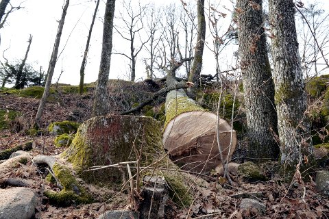 BLE STANSET: Kommunen krevde stans i arbeidet, etter at en grunneier felte eiketrær i Brunstadveien i mars 2017.