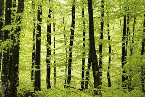MILJØ: Sandefjord kommune var den første kommunen i landet som ville vurdere all skogen sin for vern, skriver Marte Rindal Jacobsen.