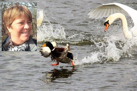 DRAMA: Mariann Olsen (innfelt) elsker å ta fuglebilder. Denne situasjonen, med knoppsvaner og stokkand, fanget hun ved Bugårdsdammen.