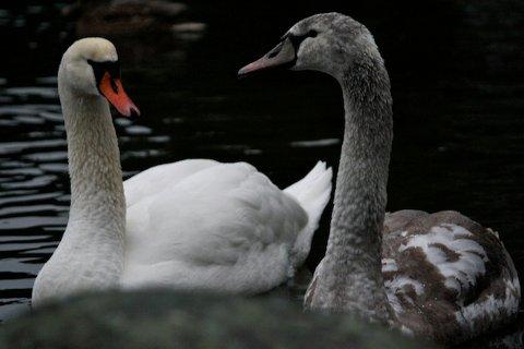 HARD TID: Kalde vintre gjør det vanskelig for svanene og de andre beboerne i Gisketjernet å finne mat. Knoppsvanene i Gisketjernet håper med andre ord på en mild vinter.