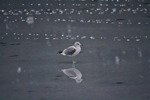USIKKER: Fuglene kan trolig ta seg en piruett uten å gå gjennom isen. Men skøyteglade mennesker bør forbli landkrabber inntil kommunen melder om sikker is.