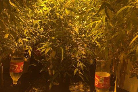 NARKOTIKAFUNN: Politiet fann store cannabisplantasjar på Austrått og Hommersåk.