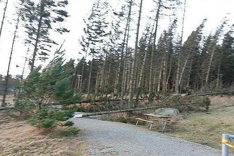 VIND: Den sterke vinden gjer at fleire tre har ramla over turstiar, som her i skogen bak eit bustadfelt på Buggeland. Kommunen ber folk vera svært forsiktige i område med sterk vind.