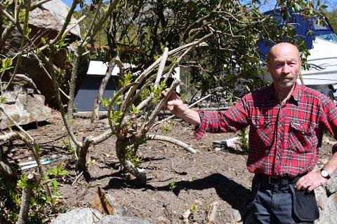 ØDELAGT. Beboer Ole P. Thingbø i Fjogstadveien fikk ødelagt en stor og flott busk da det ble foretatt kantklipping i fjor høst. Nå etterlyser han at noen tar ansvar.