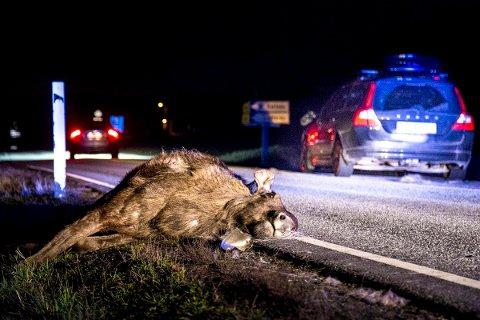 TRIST SYN: Denne elgen måtte bøte med livet etter å ha blitt påkjørt i Skjeberg. Viltnemnda advarer i forbindelse mde elgjakta om økt fare for viltpåkjørsler.